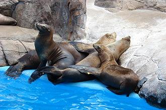 SeaWorld San Antonio - Basking sea lions
