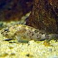 Sebastiscus marmoratus by OpenCage.jpg