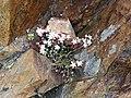 Sedum brevifolium (15720354489).jpg
