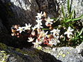 Sedum dasyphyllum 1.jpg
