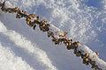 Seeds in snow (2234467253).jpg