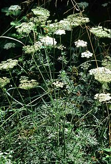 Selinum carvifolia species of plant