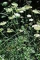 Selinum carvifolia eF.jpg