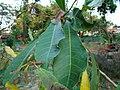 Semecarpus anacardium -branch.jpg