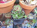 Sempervivum Pittonii (5796664839).jpg