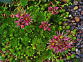 Sempervivum montanum stiriacum 001.JPG