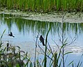 Seney National Wildlife Refuge - Landscape (9701025171).jpg