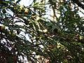 Sequoia sempervirens-Jardin des plantes 05.JPG