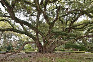 Seven Sisters Oak - Seven Sisters Oak, Live Oak Society President and National Big Tree Champion, Quercus virginiana category