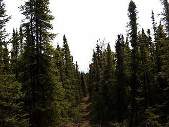 "Taiga spruce forest in the Kenai National Wildlife Refuge, Alaska. Trees in this environment tend to grow closer to the trunk and not ""bush out"" in the normal manner of spruce trees. SevenlakesAlaska.JPG"