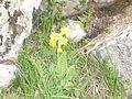Shar Planina Flora (2).JPG