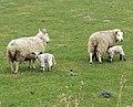 Sheep, Barrow Haven - geograph.org.uk - 1769000.jpg