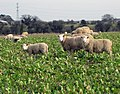 Sheep Grazing near North Killingholme - geograph.org.uk - 1758181.jpg