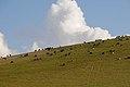 Sheep in Mazari Sharif (4269368641).jpg