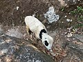 Sheep in the forest, dolakha2.jpg