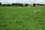 Sheep on Moor Meadow - geograph.org.uk - 1437850.jpg