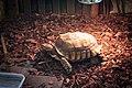 Sheldon the Tortoise (32017629272).jpg
