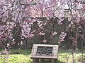 Shidare sakura flowers.JPG