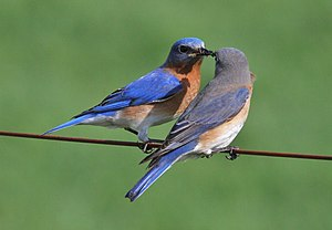Sialia sialis English: A pair of Eastern Blueb...