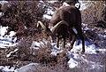 Sierra Nevada bighorn ram eating snow.jpg
