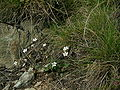Silene rupestris Felsen-Leimkrait.JPG