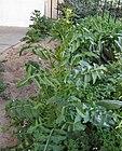 Sisymbrium irio -plant.JPG
