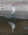 Skärfläcka (Recurvirostra avosetta) - Ystad-2021.jpg