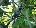Slaty-tailed Trogon. Trogon massena - Flickr - gailhampshire.jpg