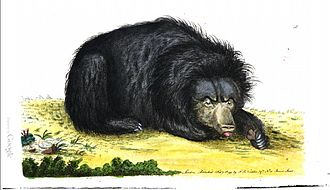 Sloth bear - Nodder's illustration (1789)