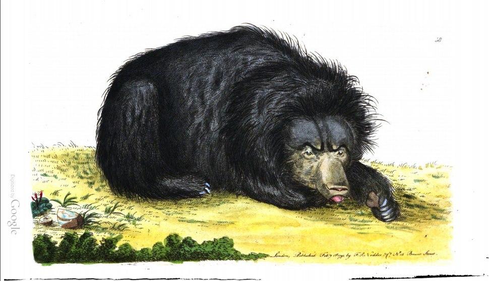 Sloth bear Ursine sloth, Shaw