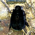 Small black chafer on the ground - 1.jpg