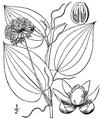 Smilax herbacea.png