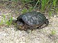 Snapping turtle reptile chelydra serpentina.jpg