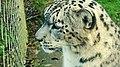 Snow Leopard (8245858904).jpg