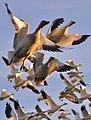 Snow geese - Fir Island - 02 (cropped).jpg