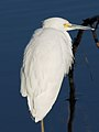 Snowy Egret - Egretta thula, Chincoteague National Wildlife Refuge, Chincoteague, Virginia (38612349702).jpg