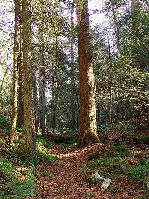 Bald Eagle State Forest - Old growth hemlocks at Snyder Middleswarth