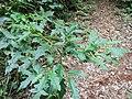 Solanum Brindle Creek sub tropical rainforest.jpg