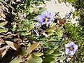 Solanum coquimbense J. R. Benn..jpg