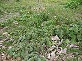 Solanum viarum (5598107272).jpg