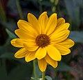Sonnenblume IMG 0315.jpg