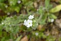 Sonoran Desert Late Winter 2013, Cryptantha angustifolia, Popcorn Flower - panoramio.jpg
