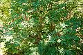 Sorbus matsumurana 12.jpg
