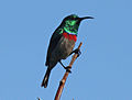 Southern Double-collared Sunbird RWD.jpg