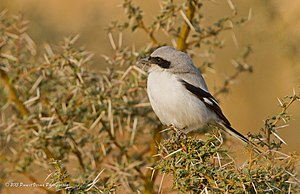 Tal Chhapar Sanctuary - Southern Grey Shrike
