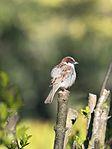 Sparrow (26986798651).jpg
