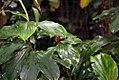 Spathiphyllum friedrichsthalii 2zz.jpg