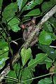 Spectral tarsier (8387426578).jpg