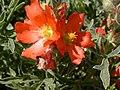 Sphaeralcea coccinea (5199875333).jpg