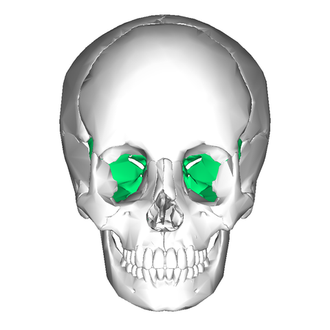 file:sphenoid bone - anterior view - wikimedia commons, Human Body